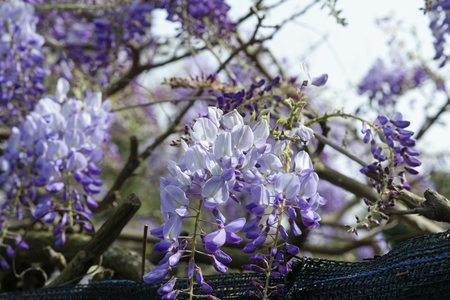 wistaria: detail of Wisteria Wistaria flowering in a garden