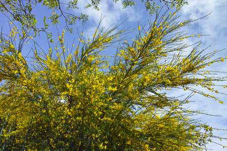 detail of Scotch Broom in full bloom at spring Stock Photo