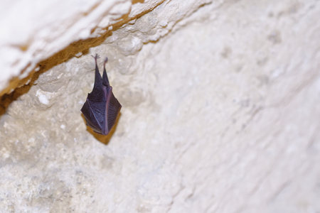 echolocation: bat covered by wings, hanging on the top of the cave