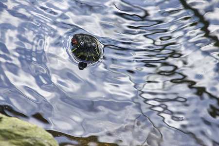 turtle in a little lake in a park