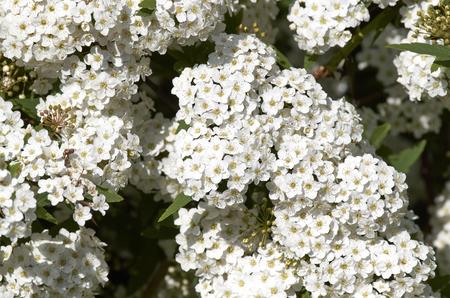 detail of Hawthorn flowers in a garden