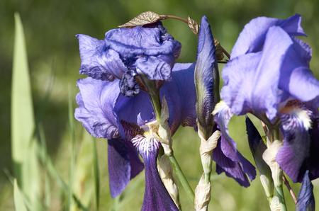 violet iris in a garden in summer time