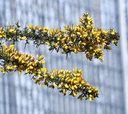 thorny: Calicotome spinosa, thorny broom or spiny broom Stock Photo