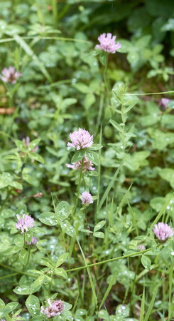 trifolium: trifolium flower in a meadow in la spezia