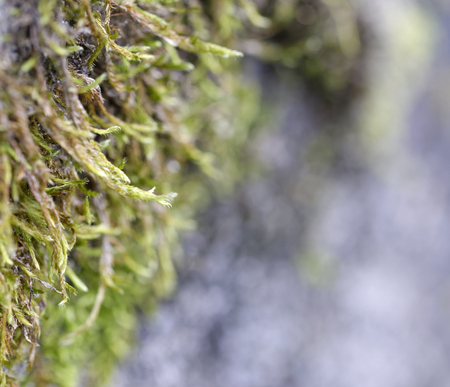 detail of a moss on top a rock in la spezia Stock Photo