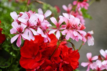 detail of geranium in a garden