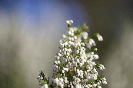 orden: detail of erica flower in a meadow
