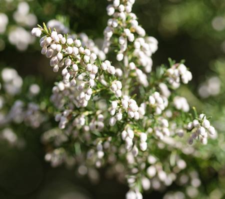 ericaceae: detail of erica flower in a meadow