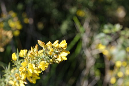 spiny:  Calicotome spinosa, thorny broom or spiny broom