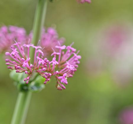 plant of centranthus in a meadow in la spezia Stock Photo