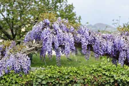 detail of Wisteria Wistaria flowering in a garden