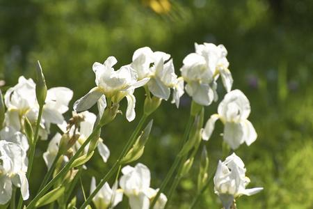 white iris in a garden in summer time