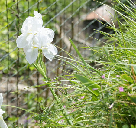white  iris in a garden in summer time Stock Photo