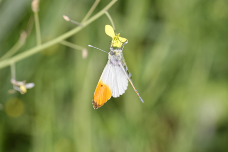 detail of Anthocharis cardamines butterfly (farfalla aurora) in a meadow Stock Photo