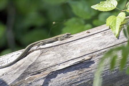 detail ofa lizard in a meadow