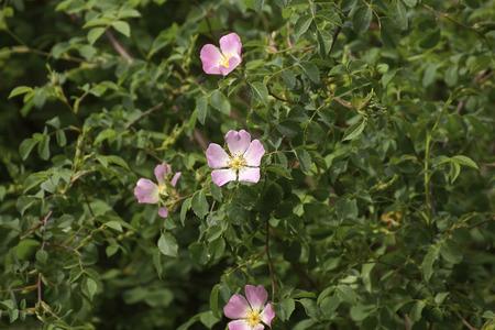 spezia: detail of a wild rose in a field in la spezia Stock Photo