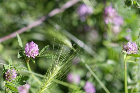 trifolium flower in a meadow in la spezia