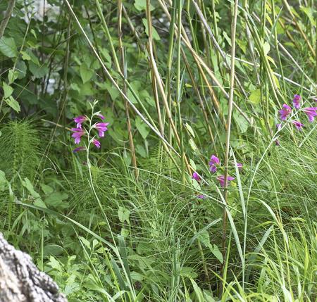 selected: detail of Gladiolus palustris in a meadow near Bozzi Saudini a wetland near la spezia