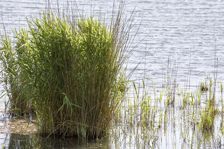 detail of green plant in a lake in tuscany