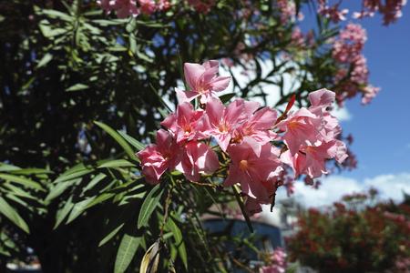 detail of pink oleander in a garden