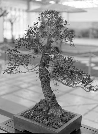 enebro: detalle del árbol bonsai