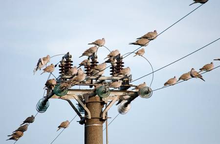 many turtle dove on top  perched on high voltage cable in italy