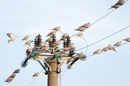 many turtle dove on top perched on high voltage cable in italy Stock Photo