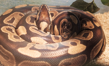 detail of Python regius in a natural museum Stock Photo