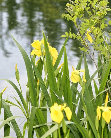 yellow iris in a garden in summer time