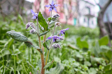 flower of borago in a meadow in la spezia