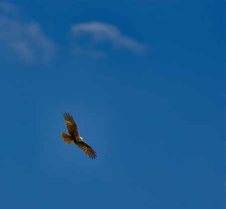 Bird northern harrier hunting from high above wetlands in italy Reklamní fotografie