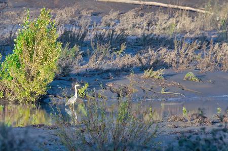 heron in a river near la spezia