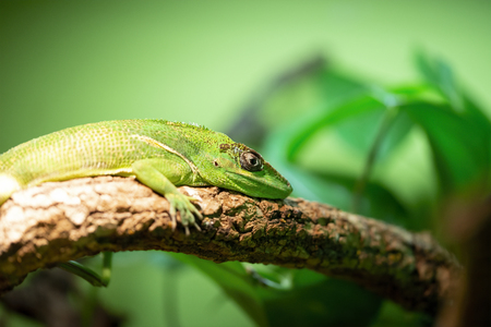 Knight anole (Anolis equestris), also known as the Cuban knight anole. 免版税图像