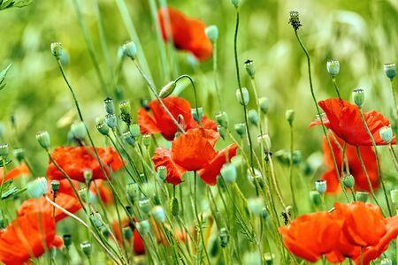 poppie in a meadow in la spezia