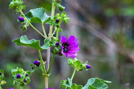 flower of malva in a meadow in la spezia 版權商用圖片