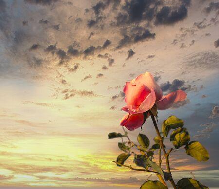 detail of pink rose in a garden in la spezia