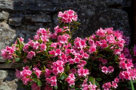 beautiful azaleas in a garden