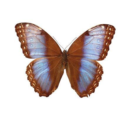 Morpho hydorina