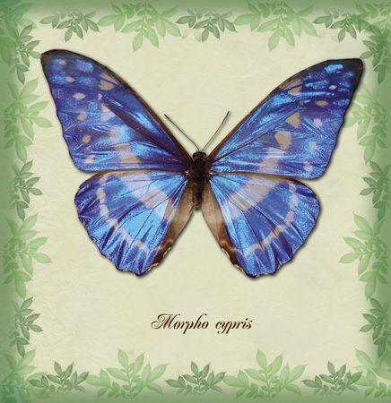 Morpho cypris
