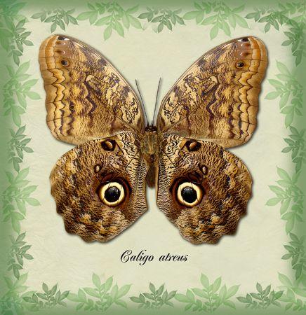 Caligo atreus
