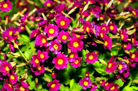 pith: primavera de la flor. Primrose flores de color rosa. Primula p�rpura o pruhoniciana con m�dula amarilla. Primer plano de flores de color rosa primavera, primula. Primula Julia Polyantho