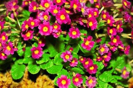 médula: Primula Julia Polyantho. primavera de la flor. Primrose flores de color rosa. Primula púrpura o pruhoniciana con médula amarilla. Primer plano de flores de color rosa primavera, primula. Foto de archivo