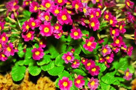 pith: Primula Julia Polyanthus. Flower primrose. Pink flowers primrose. Purple primula or pruhoniciana with yellow pith. Close-up of pink flowers primrose, primula.