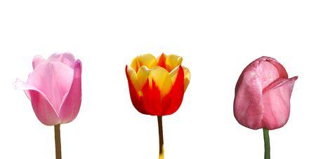 roze: Tulip
