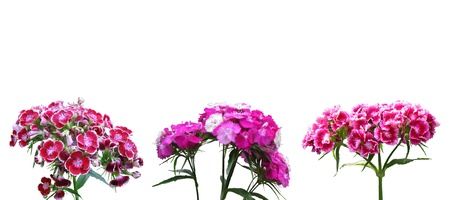 dianthus: Red dianthus on white background