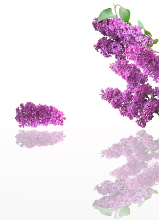 lilac flowers and empty space for your text Stock Photo - 13797658