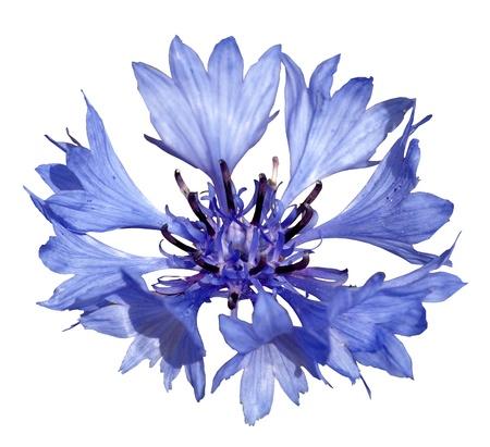 centaurea: cornflower isolated