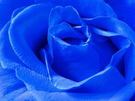 blu:                  blue rose