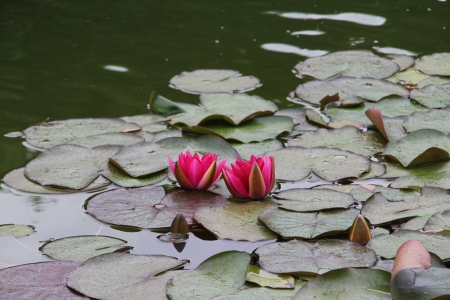 water lilly: Beautiful water lily Stock Photo