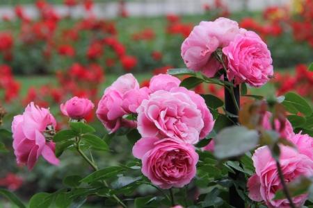 beau jardin de roses